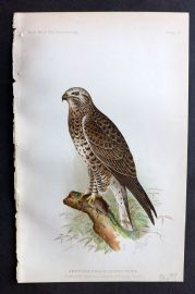 Ridgway 1893 American Bird Print. American Rough-Legged Hawk 11
